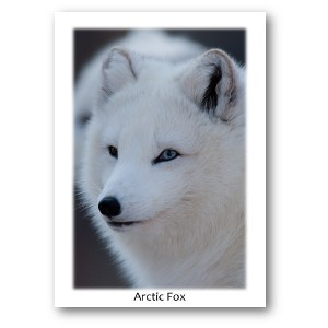 Arctic Fox Card Sets