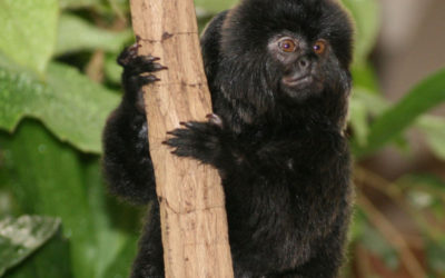 CREATURE FEATURE: GOELDI'S MONKEY