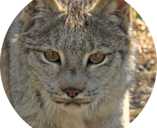 CREATURE FEATURE: CANADA LYNX